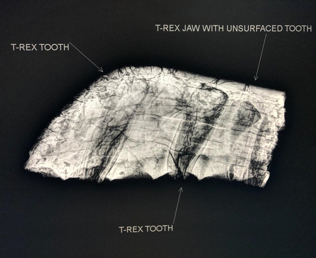 Acuren CR of T-Rex jaw
